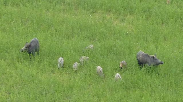 A family of wild boars photographed from the windows of the B&B