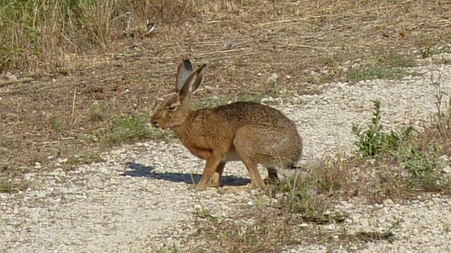 A hare crossing the road
