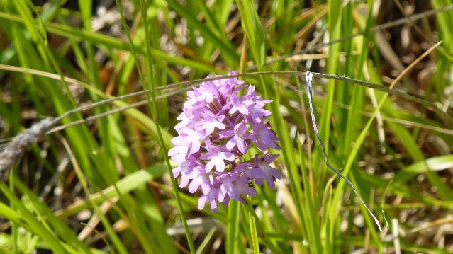 Flora del Subasio - tipologia di orchidea selvatica